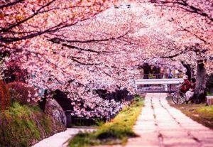 Adventure i Japan - HÖJSKOLENDK, Højskole i Udlandet - Cherry blossom