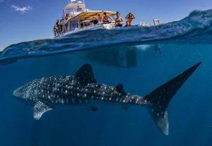 Whale sharks - HÖJSKOLENDK, Højskole i Udlandet